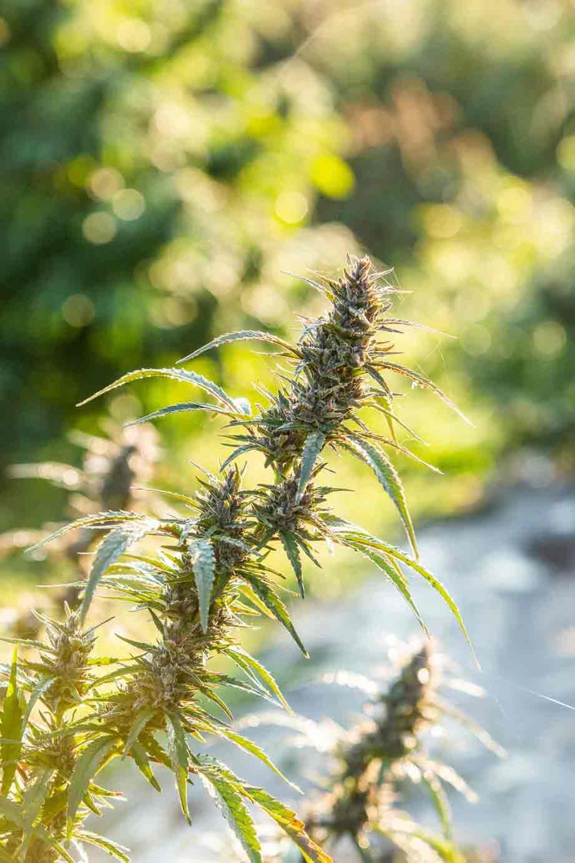 CBD e THC: em cada planta, várias concentrações